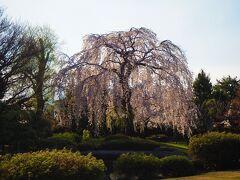この時期ならではの景色はこの大きな枝垂れ桜
