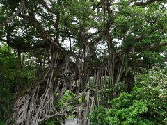 中間ガジュマル  樹齢推定500年、一本の幹から無数の気根束が伸びる