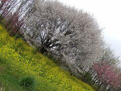 もう少し早かったら、桜と共にの菜の花ロードだったみたい。 ここを抜けて、本日の宿・・・秋田の北のほう「大湯温泉」向かいます。