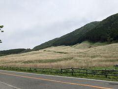 仙石原のすすき草原。5月末ですが、秋のすすきのような色になっていました。