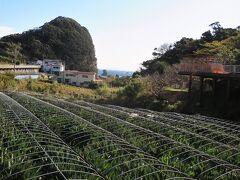 ■花狩園前バス停 旭洋丸水産の真向いには「南伊豆アロエセンター」があり、たくさんのアロエが栽培されています。  ・南伊豆アロエセンター  http://www.aloecenter.co.jp/