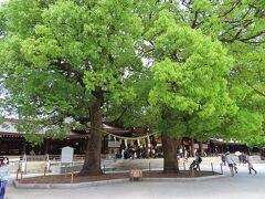 大正9年に献木されたクスノキ  長い年月を経て 御神木として育ち  二本で【夫婦楠】として親しまれています  縁結びや夫婦円満 家内安全の象徴です