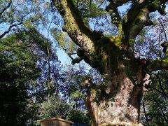 本殿に向かう参道にある、弘法大師が手植えしたとされる大楠。 パワーをいただけます。