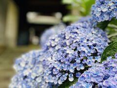 紫陽花の季節。