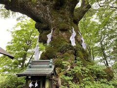 神社の裏にあるシナノキ。この神木を見てみたかったのです。とにかく大きい!まるで生き物のようでした。信濃という名前の由来にもなっているようです。この木に会いたかったー!そしてある角度からこの木をみるとハートのかたちが見えるとかで、恋愛成就の神様でもあるらしい。あ、ヒルがいたので雨降り後は注意~。