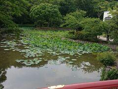 鶴岡八幡宮の「源平池」です。蓮の葉がたくさん池に浮いてます。