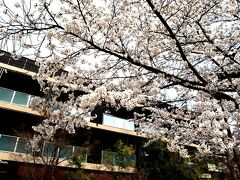 ハーベスト京都の正面の桜が本当に綺麗で…
