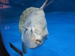 マンボウは見れば見るほど不思議な魚です.