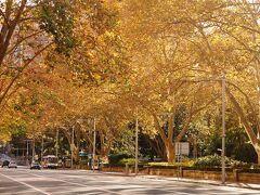 シドニーに着いて、紅葉並木を探してみます。シドニー中心部の街路樹の多くが北半球から持ち込まれた落葉樹で紅葉します。しかし紅葉の色は緑・黄・茶のまだら模様で、まるで錆びた様な色になり綺麗ではありません。  この写真はシドニーのハイドパーク。朝日の強い光を利用して、茶色の葉っぱが黄金に輝いて見える様に撮った奇跡の一枚。シドニー市街には紅葉の名所はなく(個人宅に数本の綺麗な木は見かけますが)、綺麗な紅葉並木を見るには標高の高いブルーマウンテンズやキャンベラに行かなければいけません。