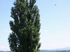 最初に向かったのは、有名な『ケンとメリーの木』。 1972年発売の日産の4代目スカイライン、通称『ケンとメリーのスカイライン』の広告で使われたポプラの木である。 かなりの老木らしく、樹勢に衰えがみられるそうだ。 周辺は農地なので、個人の農道を含めて観光客の立ち入りは禁止されているのだが、お構い無しに入り込む人が多いのには呆れるばかりだ。