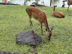 猿沢池まで鹿が降りてきていました。散歩していたらたどり着いちゃったのかな。結構車が通るので、気をつけてね。