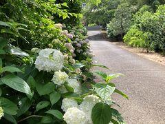 教安寺からちょっと奥へ行く、入口が分かりづらいがここにあるのが、佐倉の紫陽花寺、妙隆寺。中央公民館の北裏手の丘の上にある。 山門に続く参道がちょうど紫陽花通りになっている。