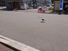 函館朝市 道の真ん中でかもめがうろうろ