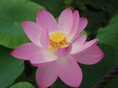 蓮花の命は、たった4日間だけ(@_@)  1日目  6時頃から開き始め、3~4cm開いた後、8時頃に閉じ始め、つぼみの状態に戻ります。 2日目  早朝から咲き始め、7~9時頃満開に。 花は一番美しい状態となり、香りが漂い、その後つぼみに戻ります。 3日目  2日目と同じ状況で、最大に開花。昼頃には閉じ始めます。 4日目  7時頃には完全に開花。早いと8時頃から散り始め、昼には全ての花弁が散ってしまいます。