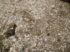 島の砂浜でミズクラゲを発見。