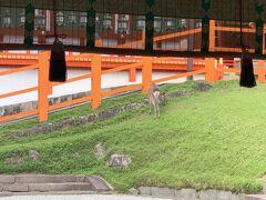 30分近く歩いたでしょうか…。  やっと春日大社に到着し、参拝料¥500をお支払いし本殿へ。  ここにも鹿がいましたが、なんだかもののけ姫のシシ神様のような神々しい雰囲気に見えなくもない…。