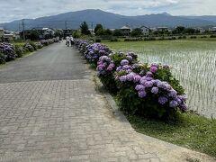 あじさいの里は水田の中に広がっていました。