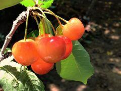 会津若松の郊外の農園でサクランボ狩り!旬の果物はみずみずしくて、美味しい♪