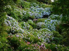 小高い丘の斜面一面に紫陽花が咲いています。綺麗~♪