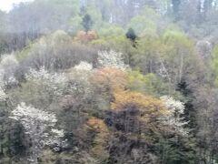 北海道の5月中旬、日高山脈越え。新緑の芽生え、山桜、キタコブシ、春の淡い三色が目にやさしい。