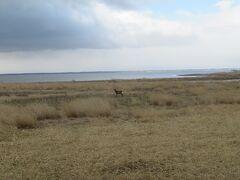車に乗って、来た道を戻りつつ動物探し。 早速エゾシカを発見!