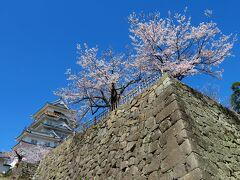 西側から天守と桜を見上げる。