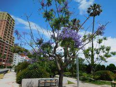 遊歩道の中には、沢山のジャカランダが咲いていました。 初めて見る紫色のお花。上品な感じでとても綺麗でした。