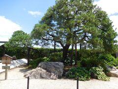 ジャカランダ遊歩道の先には、立派な「お宮の松」がありました。