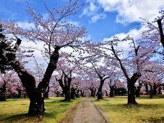 この公園の桜久々見られて嬉しい♪  それにしても静か。。だーれもいない