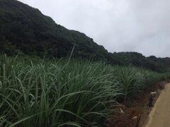 左は既述した「幕(はぐ)」と呼ばれる南北大東島独自の崖壁で、北大東島ではこれが長く連なっていて、「長幕(ながはぐ)」と呼ばれる。一帯にはこれまた北大東独自の植物が自生している。