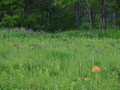 往きは気付かなかったが、そこが地図に載っていたサギ沼原生花園で、葦に隠れてよく見えなかった沼がサギ沼らしい。 湿原には、今が盛りと咲き誇るノハナショウブに交じって、エゾスカシユリの橙色の花がそこかしこに咲いていた。