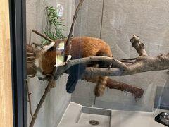 少し円山動物園に観光を。 寝てるレッサーパンダ