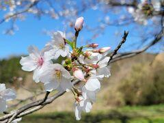 すぐ側には「都幾川桜提」があり、こちらはソメイヨシノ。ちょうど見ごろでした。