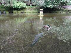 おのころ池のチョウザメ