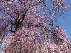 懐古園の入口で出迎えてくれるのがこの巨大なしだれ桜です。