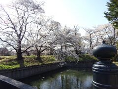 次の訪問先は龍岡城五稜郭です。白っぽい色の桜がメインです。
