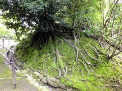 兼六園に入り、進んで行くと、凄い根を張った木が目に付きました。 一昨年、アンコールワットに行った時にタムロープなどで遺跡に絡みつく根っ子を見てから少し、このような風景に興味を持っています。 ここは、苔と根のコントラストが良いかなと思いました。