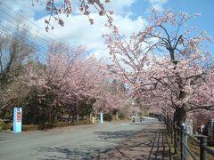 土曜日の10時30分、伊豆高原駅近くの桜並木(オオカンザクラ)です。 ニッポンレンタカー前の道は、桜が見頃でした。