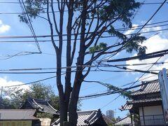 谷中のシンボルのヒマラヤ杉の巨木(令和元年10月の台風で倒れ、枝を大幅にカットされました。)