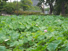 神社を出ると、ハスの葉が広がる池があります。 お花咲いてるー!! でも、望遠レンズ持ってきてなーい!!( ・´_`・ )