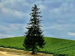 ゆっくり四季彩の丘を堪能して、向かったのは丘にポツンと立つ、クリスマスツリーの木。  周りの畑は私有地なので、近くまでは行けません。  冬に雪景色を見てみたいと思いますが、運転ムリムリ。