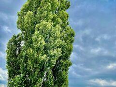 そして、ケンとメリーの木。  ここ、駐車場があるのがスゴイけどあまり観光客来てなかった。。。 樹齢99年のポプラの木。