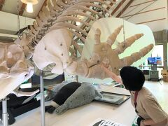 ビジターセンターのシャチは残念ながら生きたシャチではなく骨格標本で、2005年に流氷で座礁し命を落としたシャチで、その体長は7.65mとかなり大きい。。  といってもどの位大きいのか想像がつかないと思うので、私の手のひらとシャチの手のひらを比べてみた。