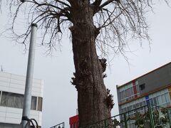 少し教会から離れたところに来ました。  大通り沿いに大きないちょうの木がありました。  こちらは宇都宮市の天然記念物です。