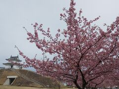 資料館を出て、公園内へ。広大な芝生がとても気持ちが良いです。河津桜も咲いていました。  奥には櫓が見えます。  天守閣がないのが残念なところですが、復元作業を続けていただき、いずれは天守閣のある公園になるとよいなと思いました。