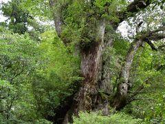 これが縄文杉。  樹齢は2100年から7200年と諸説あるが、これぞ屋久島のシンボルだ。