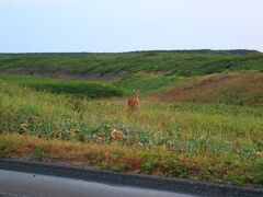 天塩町からオロロンラインを北上すると道路わきでエゾ鹿をよく見かける。 画像に映っている鹿を撮影していたら後ろ側にも大きな鹿が居てびっくりした。