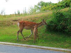 稚内公園に向かう道で見かけたエゾ鹿の母娘 車から降りて暫し鹿を眺めると母子とも顔がそっくりだった。