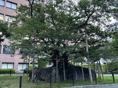 橋野町 石割桜