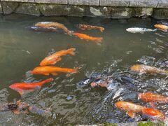古川といえば瀬戸川の鯉。 大きな鯉がたくさん泳いでいます。 ちびーずは餌を購入して餌やりを楽しんでいました。